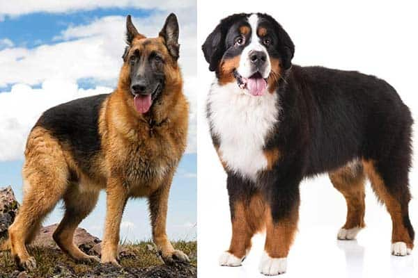 Bernese Mountain Dog German Shepherd