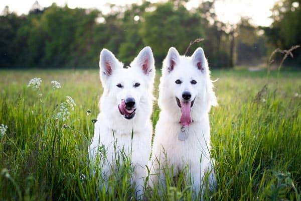 White German Shepherd Why The Stunning Is So Confusing Anything German Shepherd
